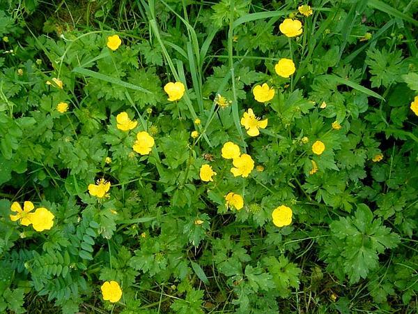 Tall Buttercup (Ranunculus Acris) http://www.sagebud.com/tall-buttercup-ranunculus-acris