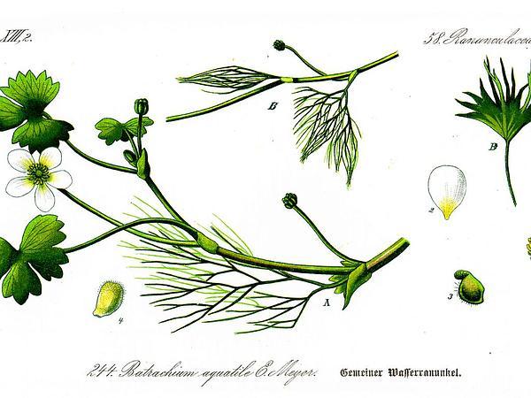 White Water Crowfoot (Ranunculus Aquatilis) http://www.sagebud.com/white-water-crowfoot-ranunculus-aquatilis/