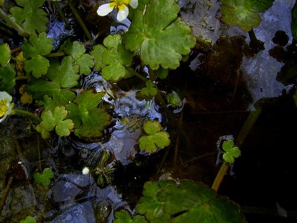 White Water Crowfoot (Ranunculus Aquatilis) http://www.sagebud.com/white-water-crowfoot-ranunculus-aquatilis