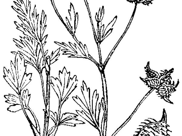 Corn Buttercup (Ranunculus Arvensis) http://www.sagebud.com/corn-buttercup-ranunculus-arvensis