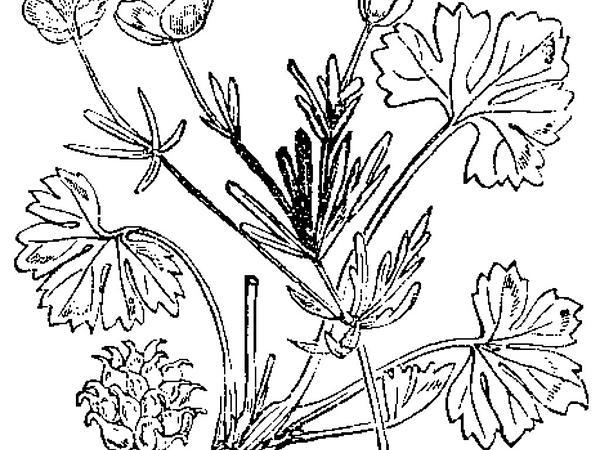 Greenland Buttercup (Ranunculus Auricomus) http://www.sagebud.com/greenland-buttercup-ranunculus-auricomus