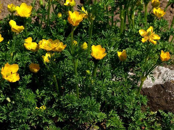 St. Anthony's Turnip (Ranunculus Bulbosus) http://www.sagebud.com/st-anthonys-turnip-ranunculus-bulbosus