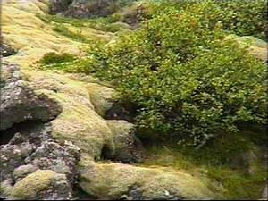 Racomitrium Moss
