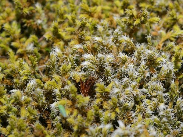 Racomitrium Moss (Racomitrium) http://www.sagebud.com/racomitrium-moss-racomitrium/