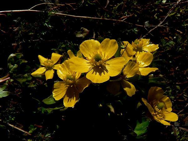 Eschscholtz's Buttercup (Ranunculus Eschscholtzii) http://www.sagebud.com/eschscholtzs-buttercup-ranunculus-eschscholtzii/