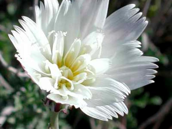 Plumeseed (Rafinesquia) http://www.sagebud.com/plumeseed-rafinesquia