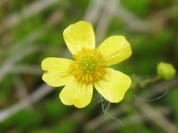 Greater Creeping Spearwort (Ranunculus Flammula) http://www.sagebud.com/greater-creeping-spearwort-ranunculus-flammula