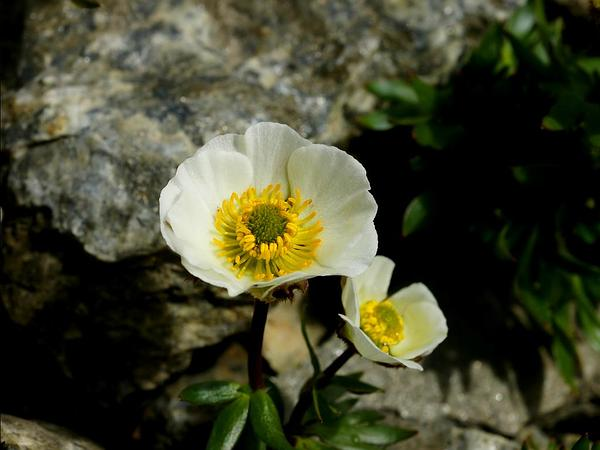 Glacier Buttercup (Ranunculus Glacialis) http://www.sagebud.com/glacier-buttercup-ranunculus-glacialis/