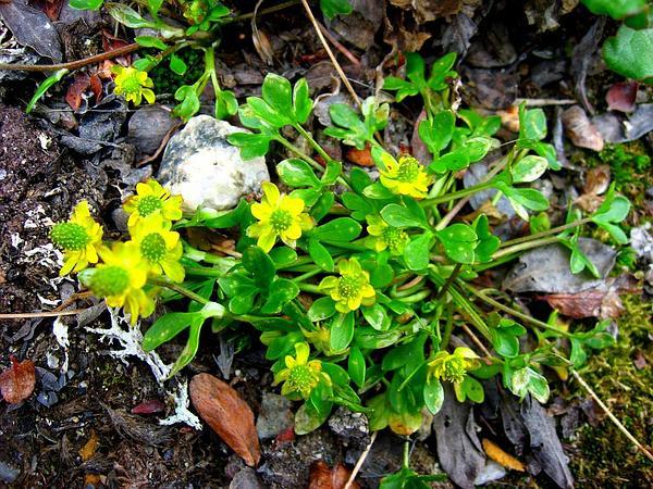 High Northern Buttercup (Ranunculus Hyperboreus) http://www.sagebud.com/high-northern-buttercup-ranunculus-hyperboreus