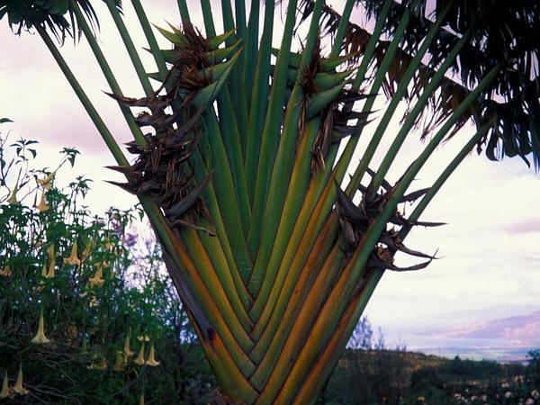 Traveler's Tree (Ravenala Madagascariensis) http://www.sagebud.com/travelers-tree-ravenala-madagascariensis