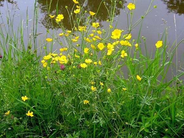 Buttercup (Ranunculus) http://www.sagebud.com/buttercup-ranunculus