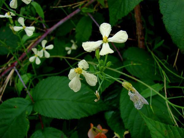 Radish (Raphanus) http://www.sagebud.com/radish-raphanus/