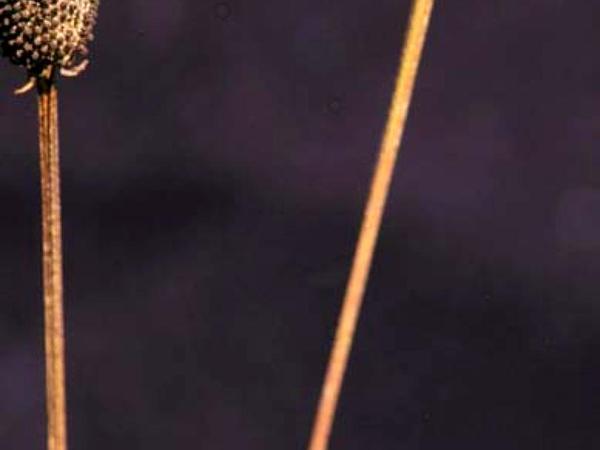 Pinnate Prairie Coneflower (Ratibida Pinnata) http://www.sagebud.com/pinnate-prairie-coneflower-ratibida-pinnata