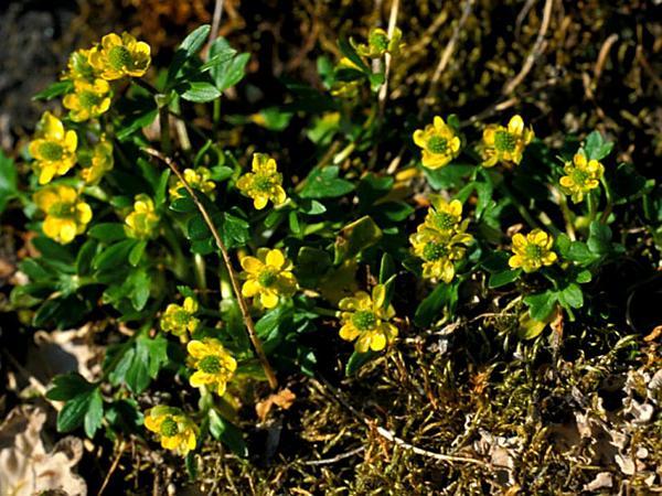 Pygmy Buttercup (Ranunculus Pygmaeus) http://www.sagebud.com/pygmy-buttercup-ranunculus-pygmaeus