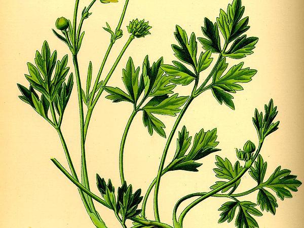 Creeping Buttercup (Ranunculus Repens) http://www.sagebud.com/creeping-buttercup-ranunculus-repens