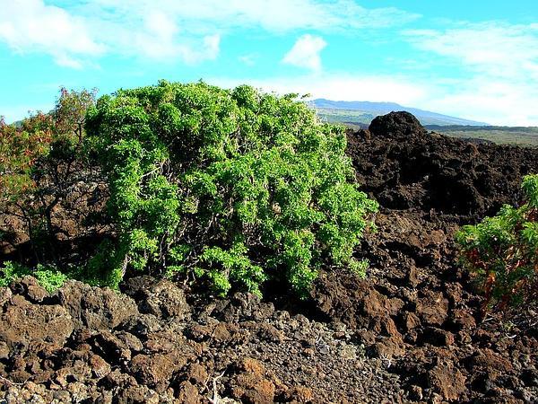 Devil's-Pepper (Rauvolfia Sandwicensis) http://www.sagebud.com/devils-pepper-rauvolfia-sandwicensis