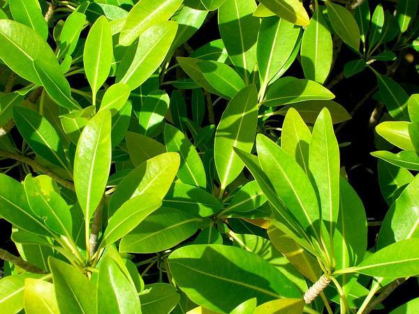 Devil's-Pepper (Rauvolfia Sandwicensis) http://www.sagebud.com/devils-pepper-rauvolfia-sandwicensis/