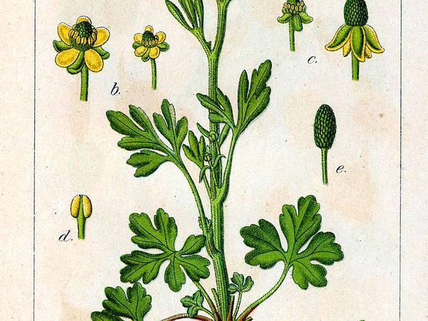 Cursed Buttercup (Ranunculus Sceleratus) http://www.sagebud.com/cursed-buttercup-ranunculus-sceleratus/