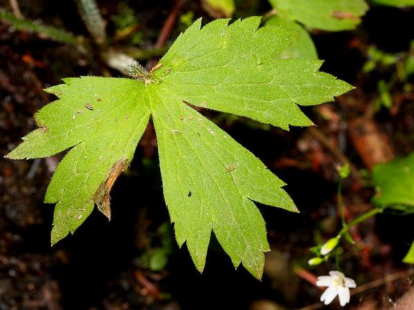 Woodland Buttercup (Ranunculus Uncinatus) http://www.sagebud.com/woodland-buttercup-ranunculus-uncinatus