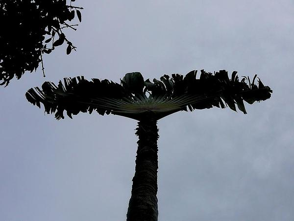 Traveler's Tree (Ravenala) http://www.sagebud.com/travelers-tree-ravenala/