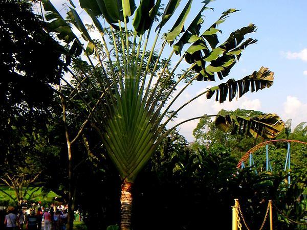 Traveler's Tree (Ravenala) http://www.sagebud.com/travelers-tree-ravenala