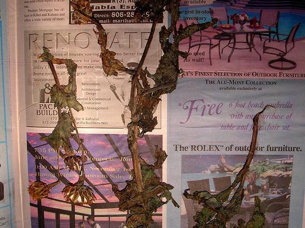 Brighteyes (Reichardia) http://www.sagebud.com/brighteyes-reichardia