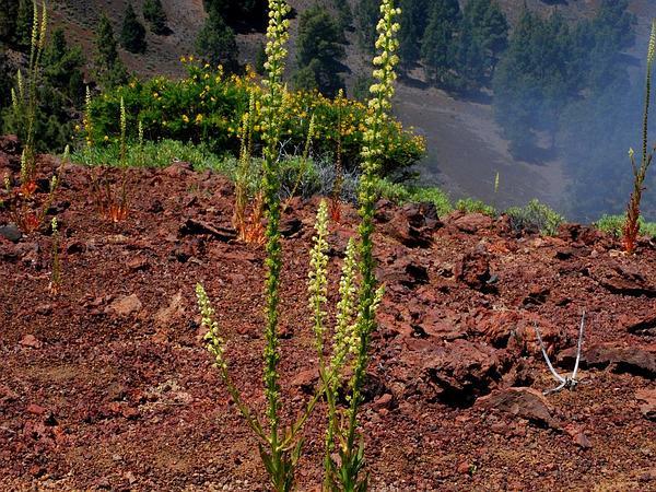 Weld (Reseda Luteola) http://www.sagebud.com/weld-reseda-luteola