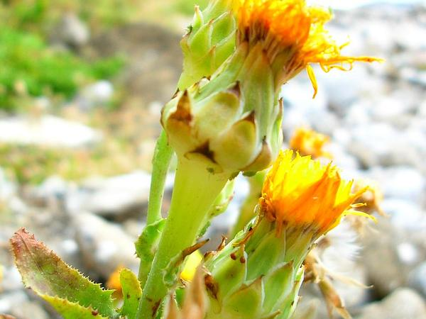 Common Brighteyes (Reichardia Picroides) http://www.sagebud.com/common-brighteyes-reichardia-picroides
