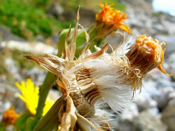 Common Brighteyes (Reichardia Picroides) http://www.sagebud.com/common-brighteyes-reichardia-picroides/