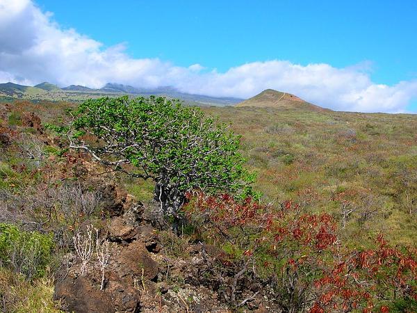 'Ohe Makai (Reynoldsia Sandwicensis) http://www.sagebud.com/ohe-makai-reynoldsia-sandwicensis/