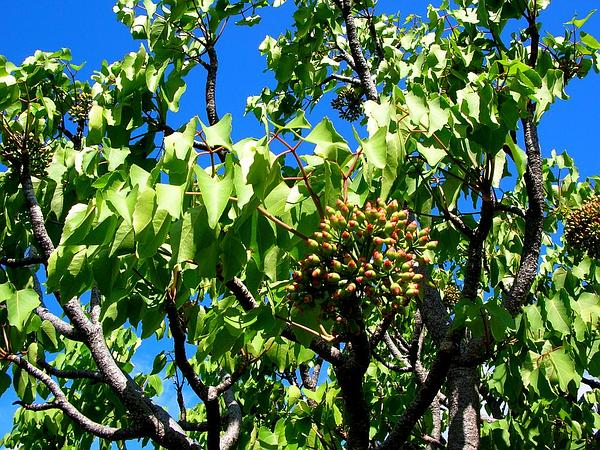 Reynoldsia (Reynoldsia) http://www.sagebud.com/reynoldsia-reynoldsia
