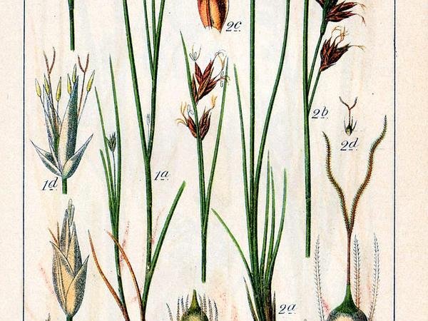 White Beaksedge (Rhynchospora Alba) http://www.sagebud.com/white-beaksedge-rhynchospora-alba