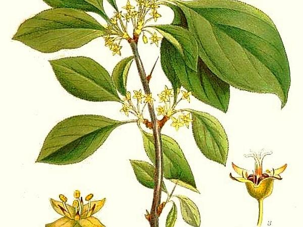 Buckthorn (Rhamnus) http://www.sagebud.com/buckthorn-rhamnus