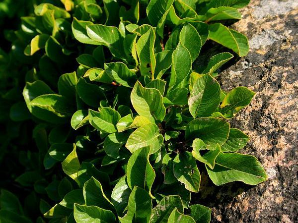 Buckthorn (Rhamnus) http://www.sagebud.com/buckthorn-rhamnus/