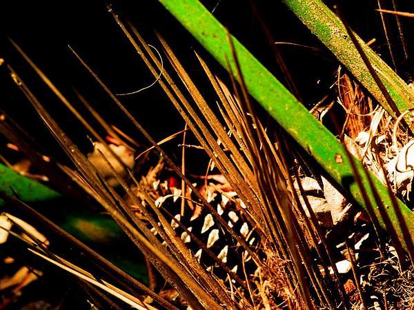 Rhapidophyllum (Rhapidophyllum) http://www.sagebud.com/rhapidophyllum-rhapidophyllum