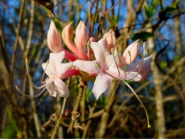 Dwarf Azalea (Rhododendron Atlanticum) http://www.sagebud.com/dwarf-azalea-rhododendron-atlanticum/