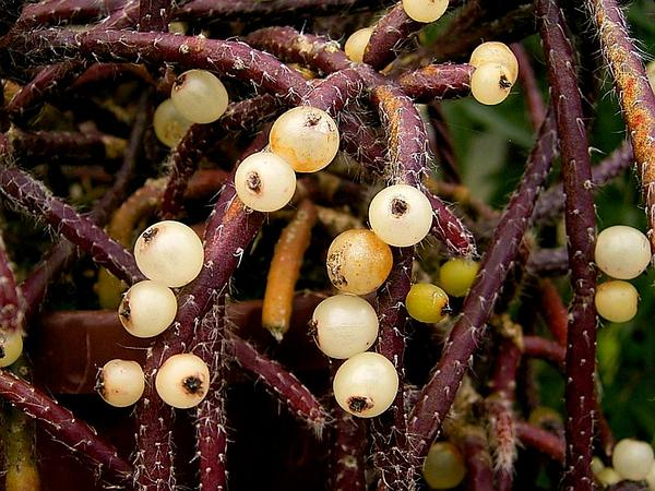 Mistletoe Cactus (Rhipsalis Baccifera) http://www.sagebud.com/mistletoe-cactus-rhipsalis-baccifera/