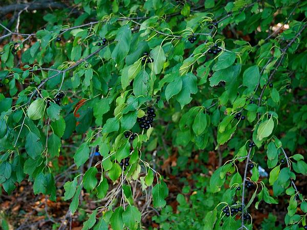 Common Buckthorn (Rhamnus Cathartica) http://www.sagebud.com/common-buckthorn-rhamnus-cathartica/