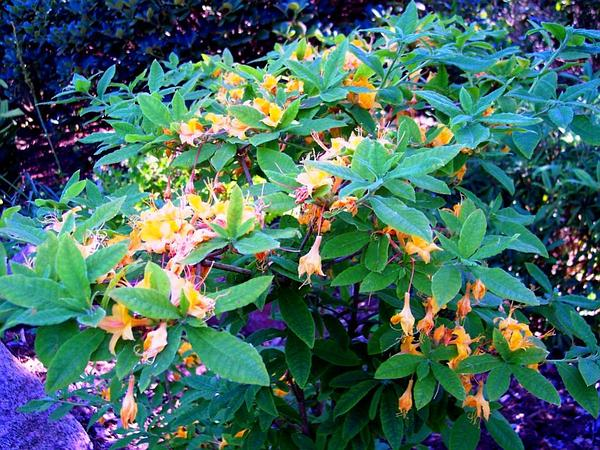 Flame Azalea (Rhododendron Calendulaceum) http://www.sagebud.com/flame-azalea-rhododendron-calendulaceum/