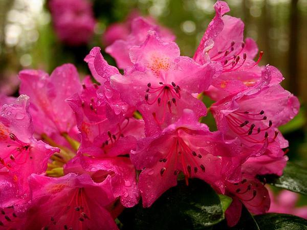 Catawba Rosebay (Rhododendron Catawbiense) http://www.sagebud.com/catawba-rosebay-rhododendron-catawbiense