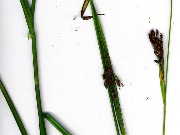 Anglestem Beaksedge (Rhynchospora Caduca) http://www.sagebud.com/anglestem-beaksedge-rhynchospora-caduca