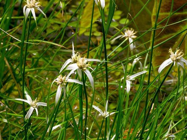 Starrush Whitetop (Rhynchospora Colorata) http://www.sagebud.com/starrush-whitetop-rhynchospora-colorata