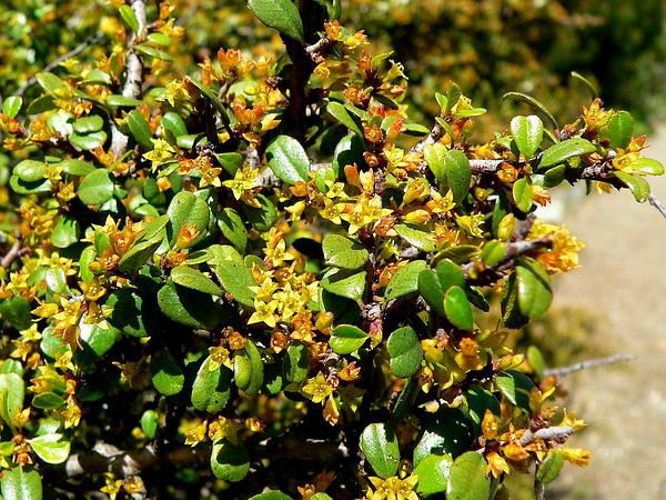 Redberry Buckthorn (Rhamnus Crocea) http://www.sagebud.com/redberry-buckthorn-rhamnus-crocea