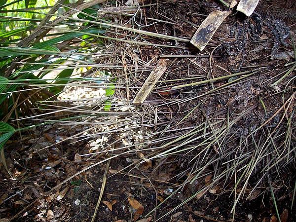 Needle Palm (Rhapidophyllum Hystrix) http://www.sagebud.com/needle-palm-rhapidophyllum-hystrix/
