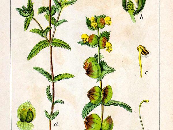 Yellow Rattle (Rhinanthus) http://www.sagebud.com/yellow-rattle-rhinanthus