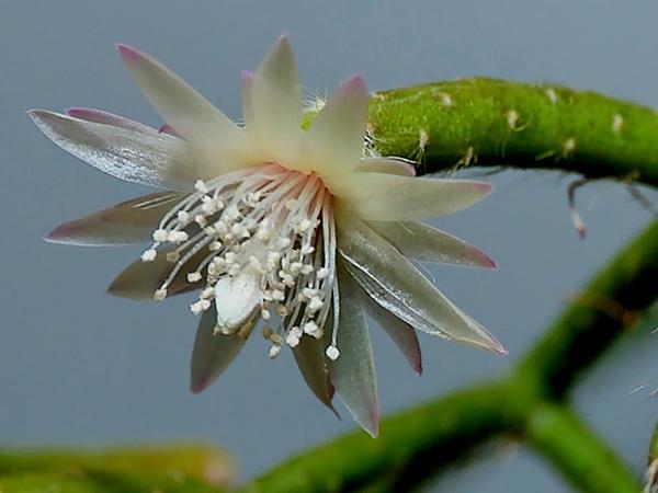 Rhipsalis (Rhipsalis) http://www.sagebud.com/rhipsalis-rhipsalis