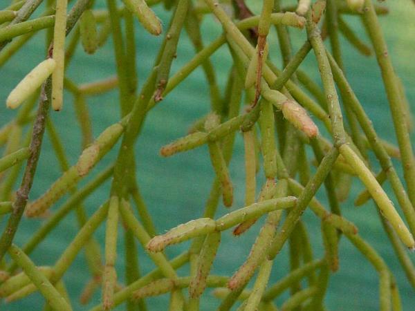 Rhipsalis (Rhipsalis) http://www.sagebud.com/rhipsalis-rhipsalis/