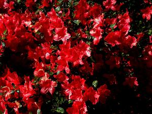 RHJA2/Azalea_japonica_Aladdin_A_300.jpg