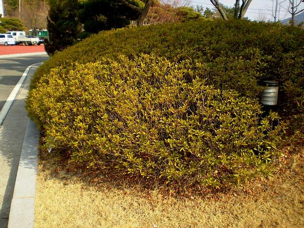 Japanese Azalea (Rhododendron Japonicum) http://www.sagebud.com/japanese-azalea-rhododendron-japonicum