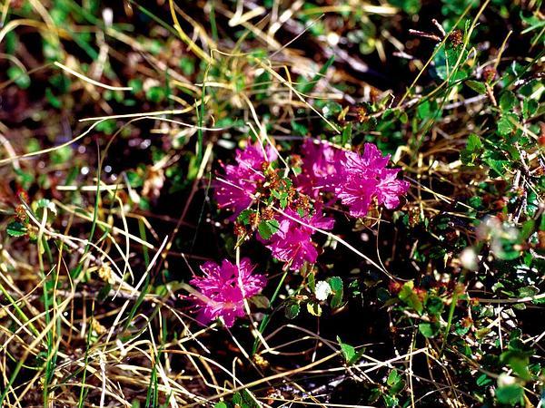 Lapland Rosebay (Rhododendron Lapponicum) http://www.sagebud.com/lapland-rosebay-rhododendron-lapponicum/